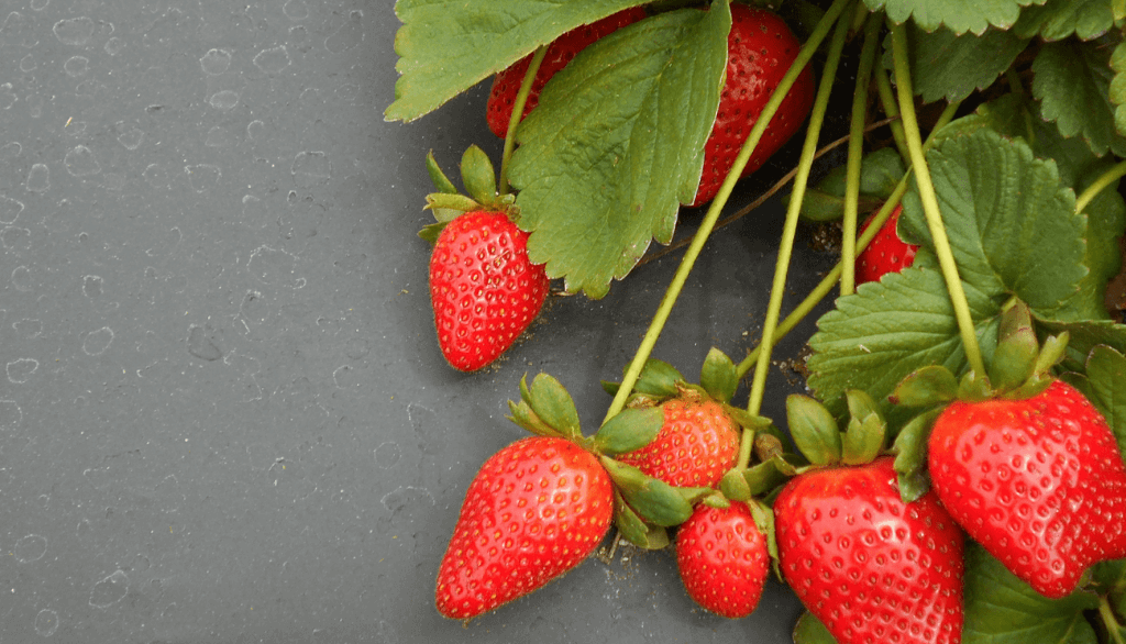 Taking care of strawberry plants