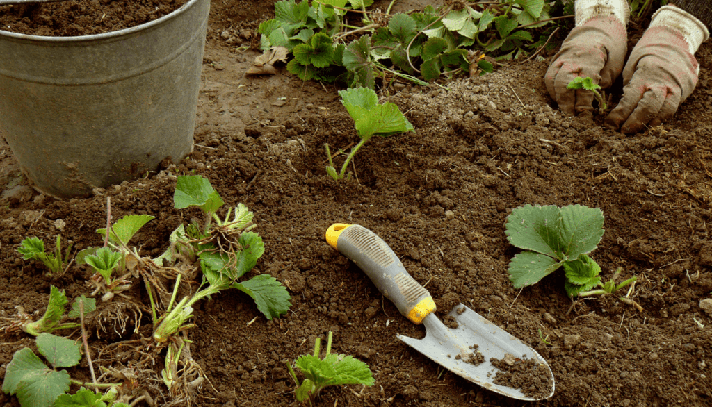 Where to plant strawberries
